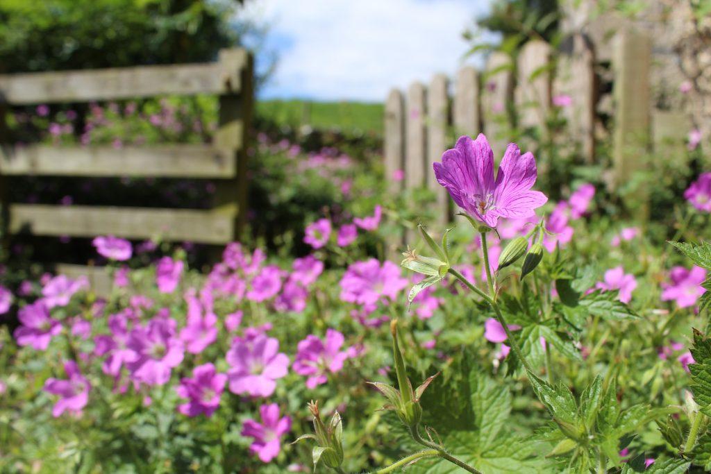 Des fleurs sauvages violettes dans un jardin anglais