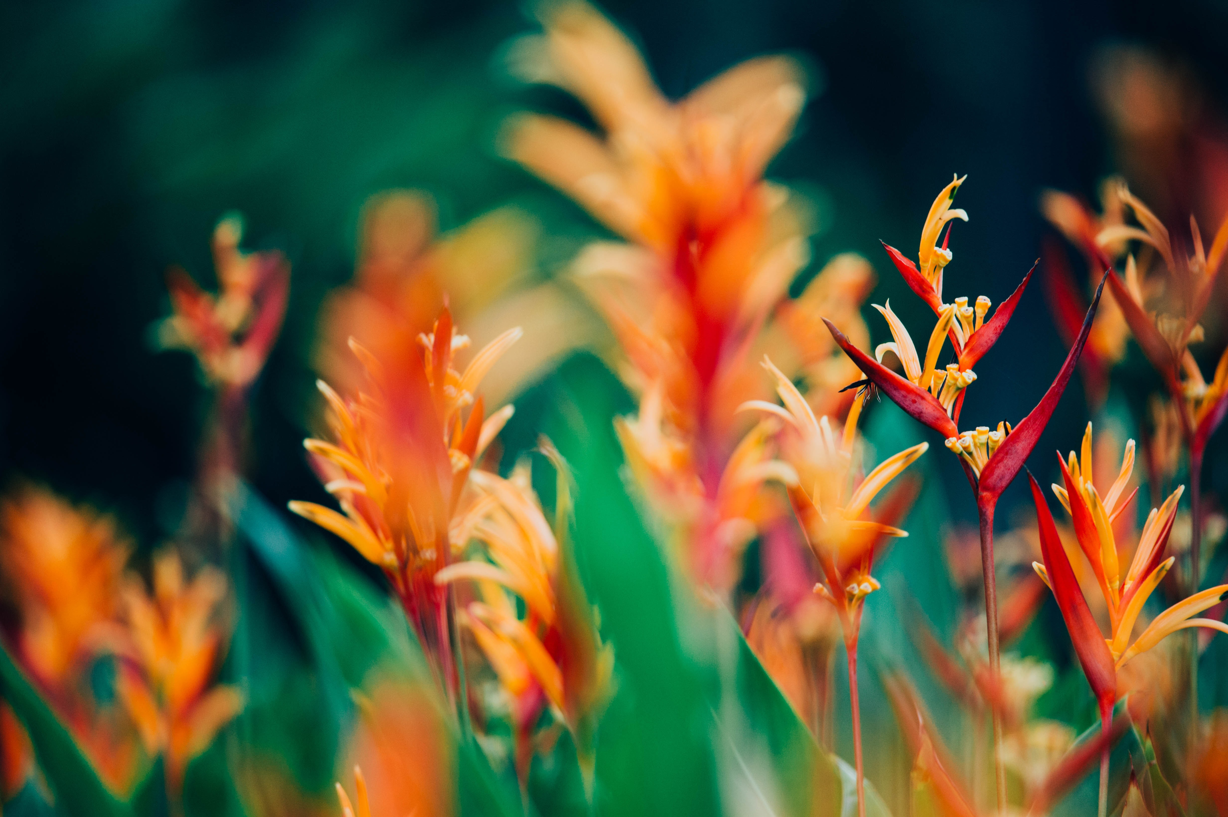 Fleurs exotiques : oiseaux du paradis