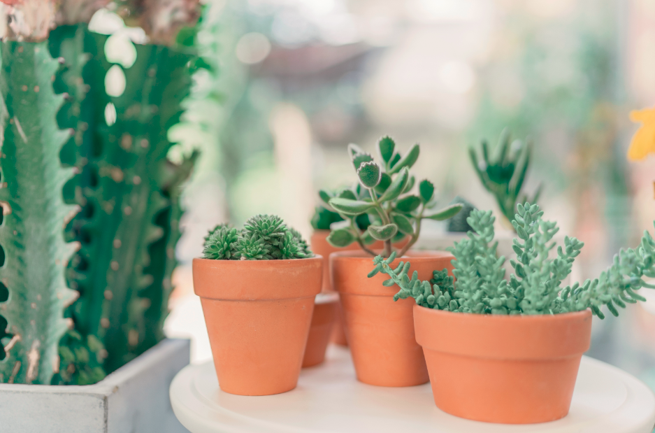 Pots en terre cuite de plantes grasses